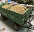 Getreide-Körner